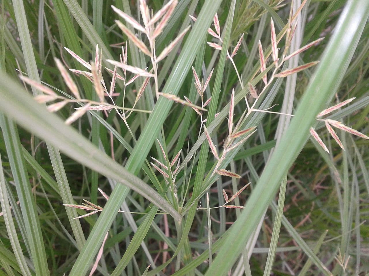 How To Get Rid Of Nutgrass Bug Amp Weed Mart