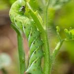 tomato caterpillars