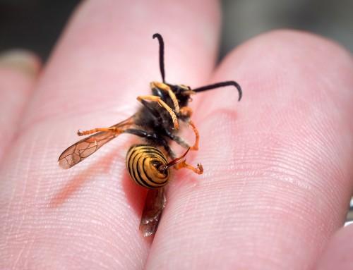5 Natural Wasp Sting Treatments