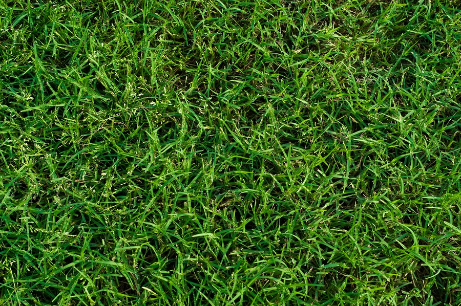 Transitioning from winter lawn to Bermuda grass
